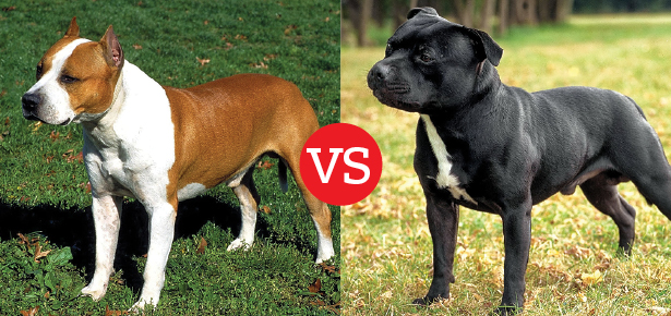 staffordshire terrier vs pitbull