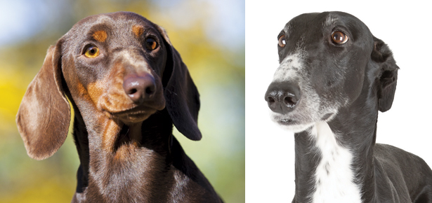 is the dachshund or the greyhound the right breed for you modern