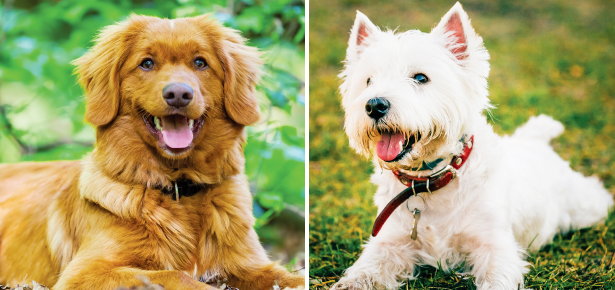Is the Toller or the Westie the dog for you? | Modern Dog magazine