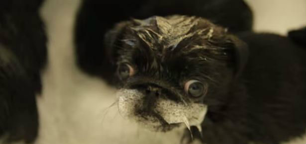 Video Of The Day Pug Puppies In A Tub Modern Dog Magazine