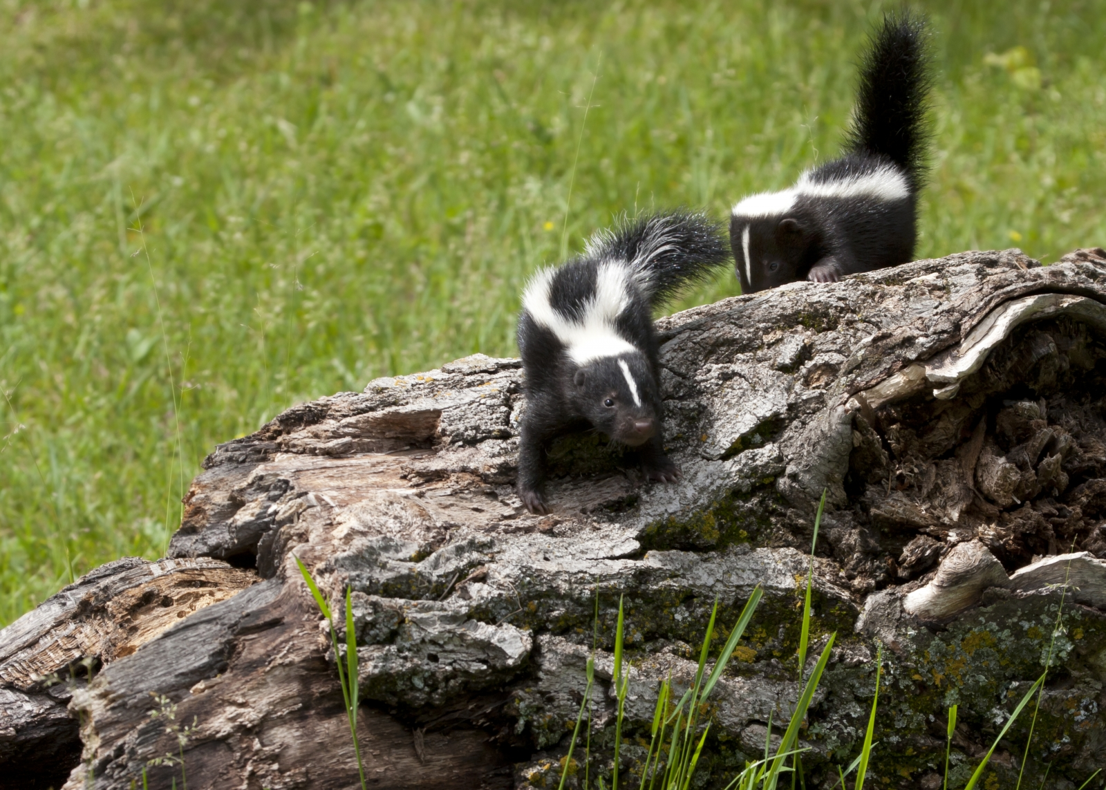 How To Re-home A Skunk Family   Modern Dog magazine