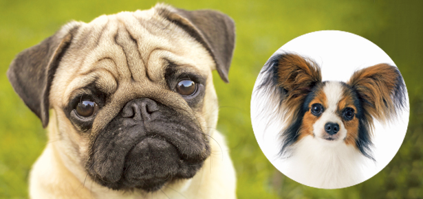 Could The Pug Or The Papillon Be The Breed For You Modern Dog