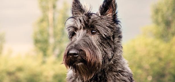 The Scottish Terrier Or Scottie Dog Modern Dog Magazine