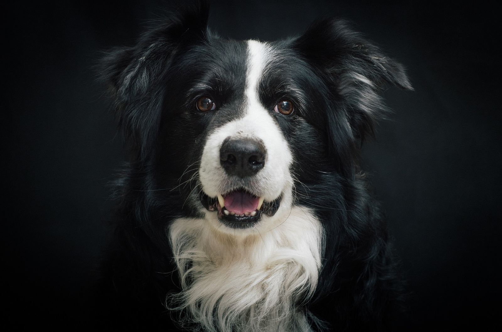 The Border Collie History Facts And Temperament As A Pet