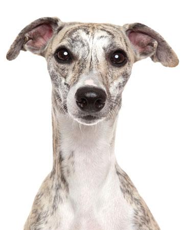 10 Best Dog Breeds For Runners Modern Dog Magazine