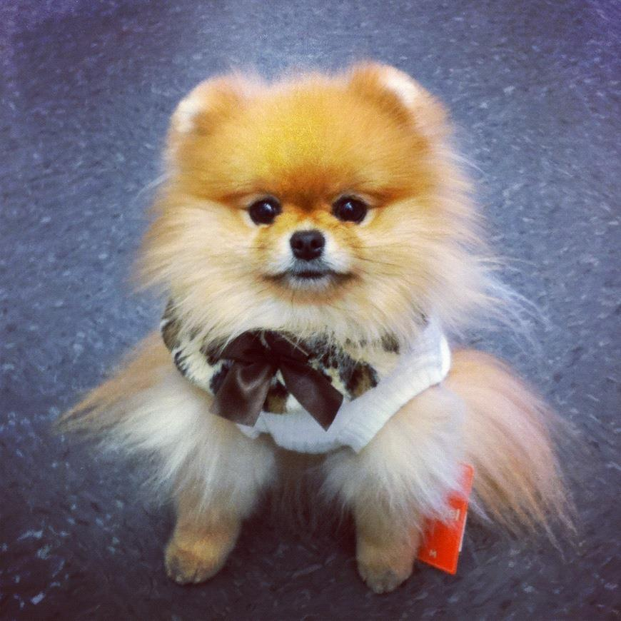 tiny pomeranian dog