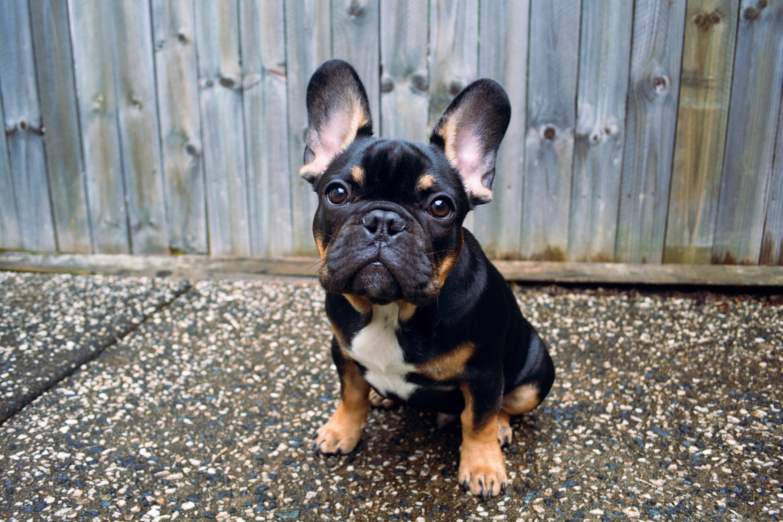 Brooklyn The French Bulldog | Modern Dog magazine