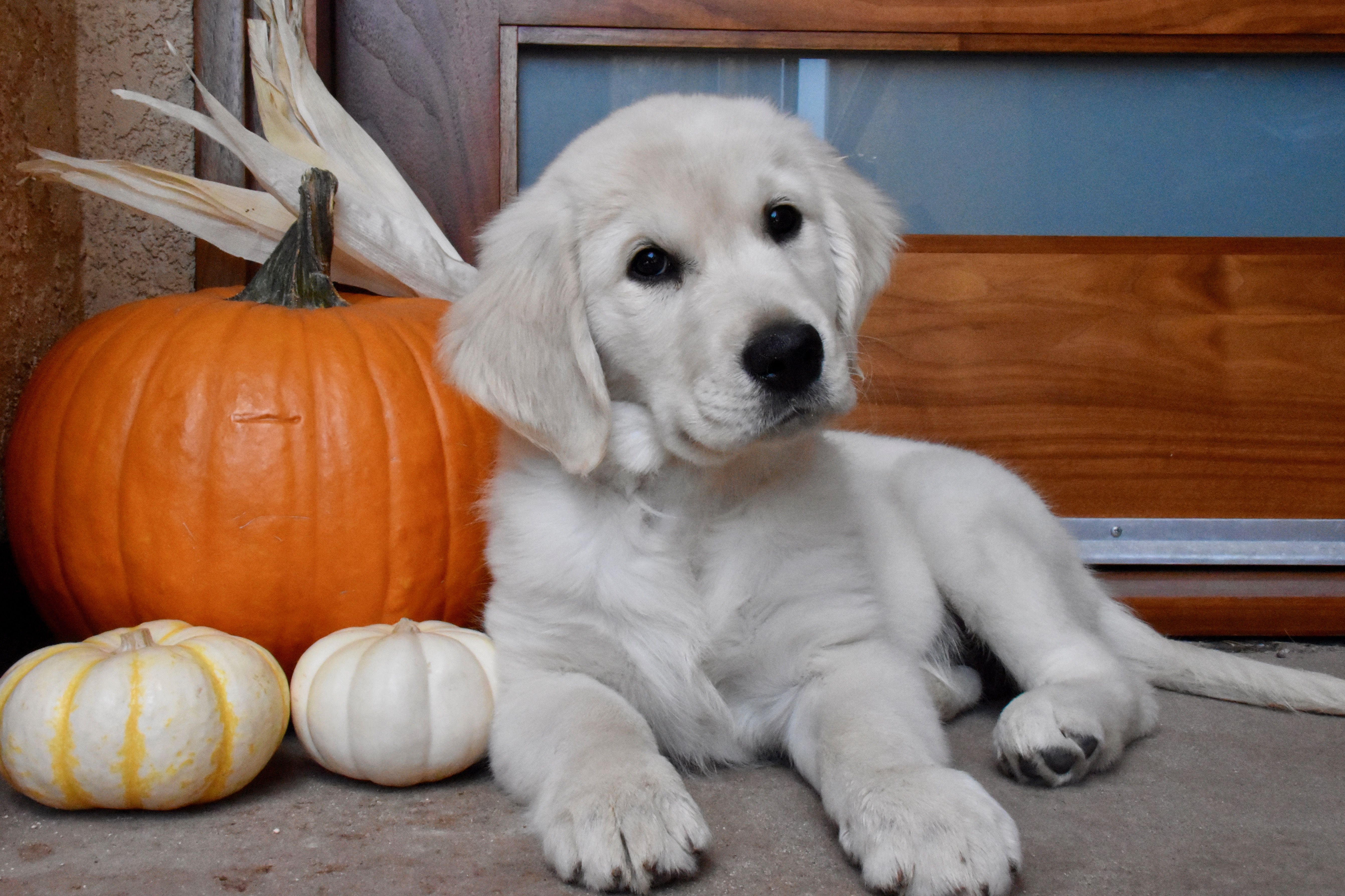 Leilani modern dog magazine leilani is an english cream golden retriever puppy her name means heavenly flower in hawaiian izmirmasajfo Gallery
