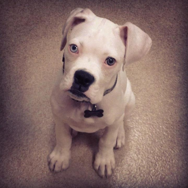 White Boxer Puppies With Blue Eyes | www.pixshark.com ...