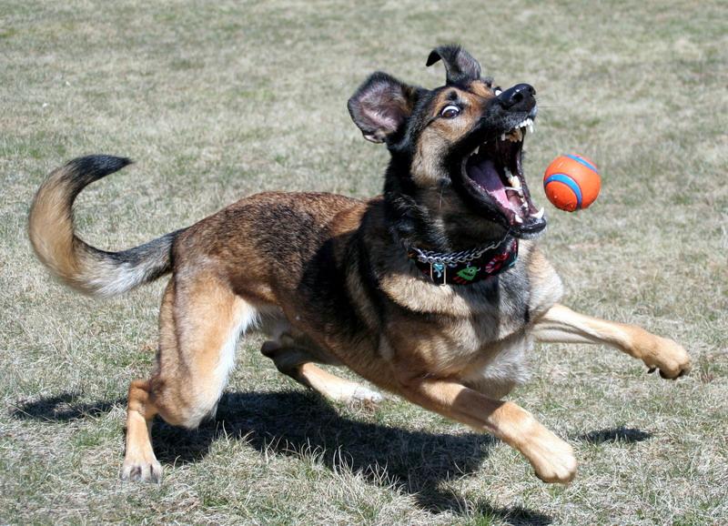 German Shepherd Malinois Mix Puppies Lincoln   Modern Dog m...