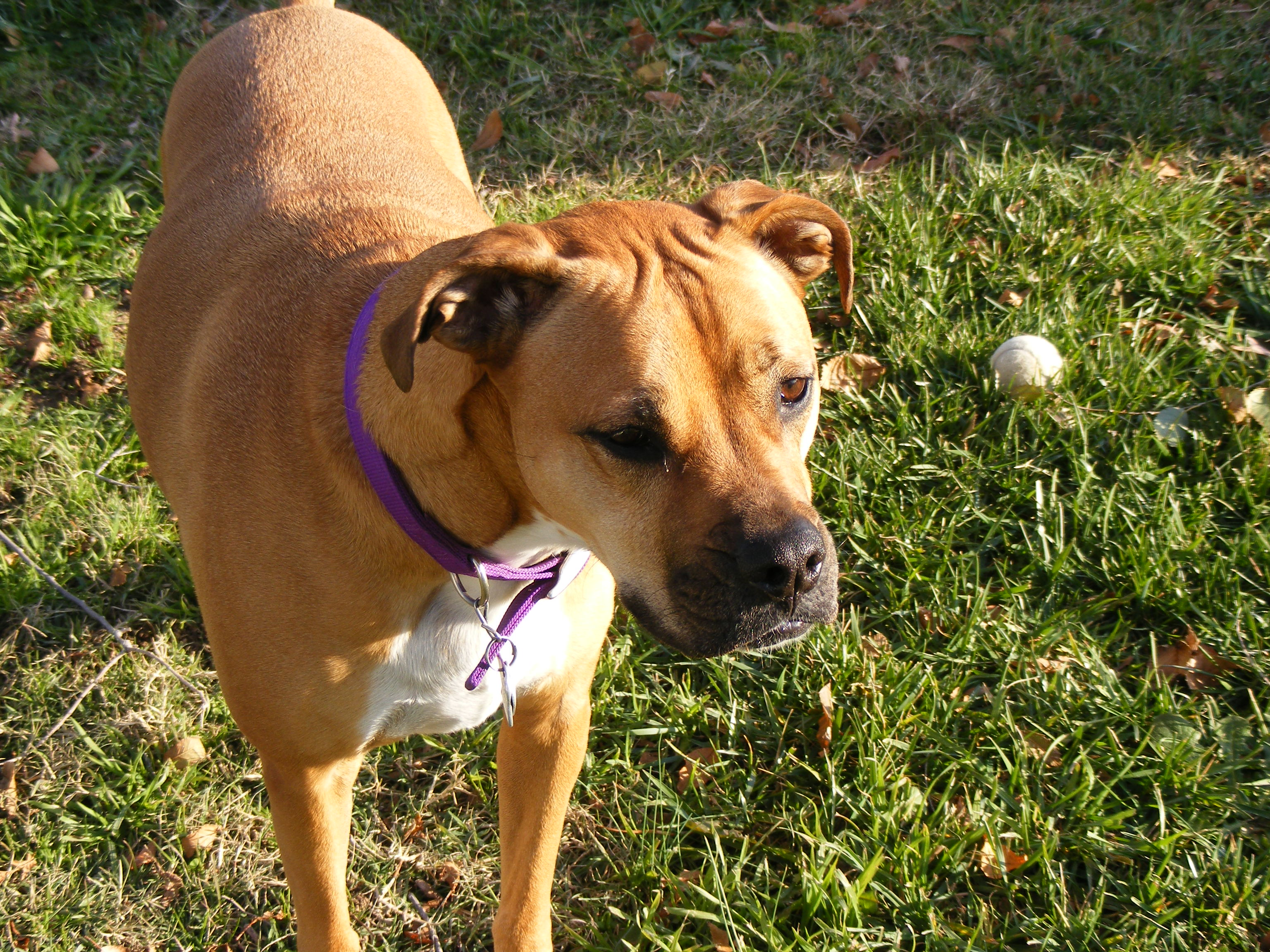 Displaying 17> Images For Boxer Pitbull Mix Puppy...