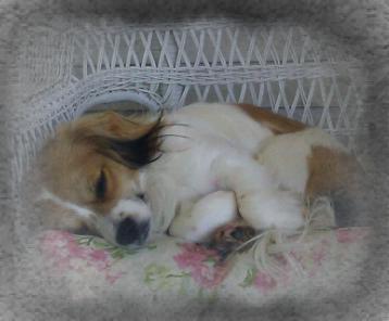 Cockapeekapoo Dog Breed