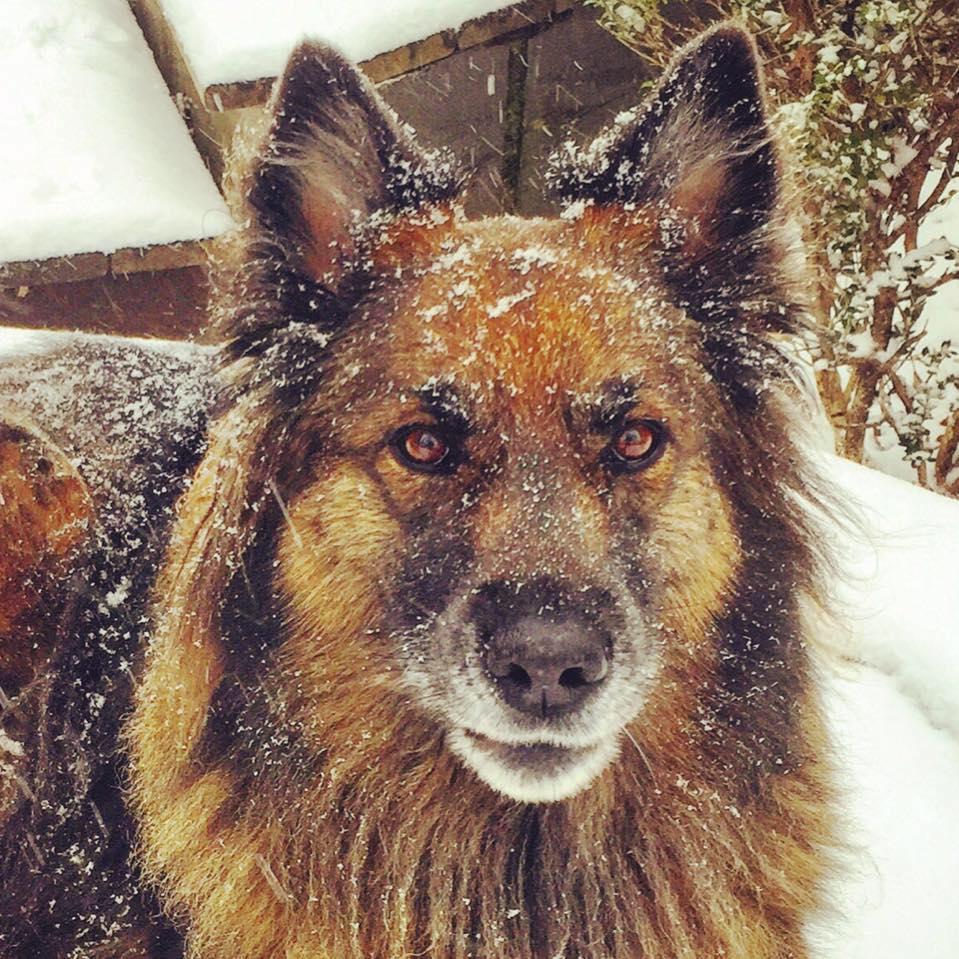 Golden newfie mix breeders in colorado dog breeds picture