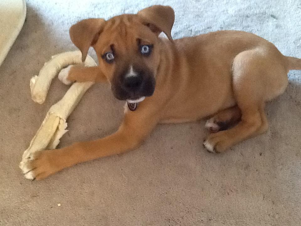 Blue Eyed Boxer Dog