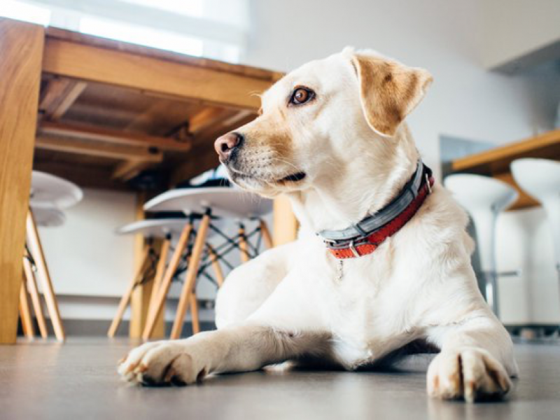 A Labrador that could use some CBD oil for anxiety in dogs
