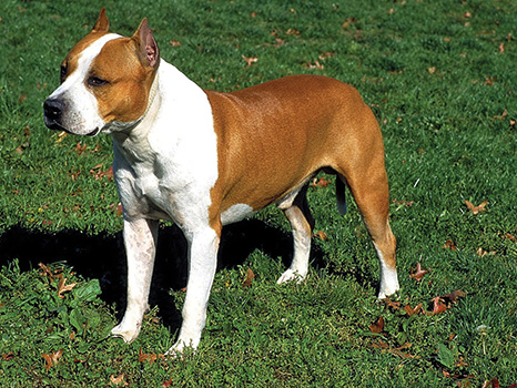What's the Difference Between the American Staffordshire Terrier and ...