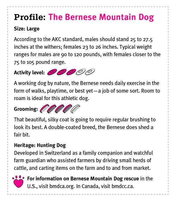 The Bernese Mountain Dog Modern Dog Magazine