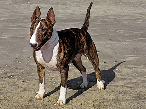 The Bull Terrier Bull Terrier Akc