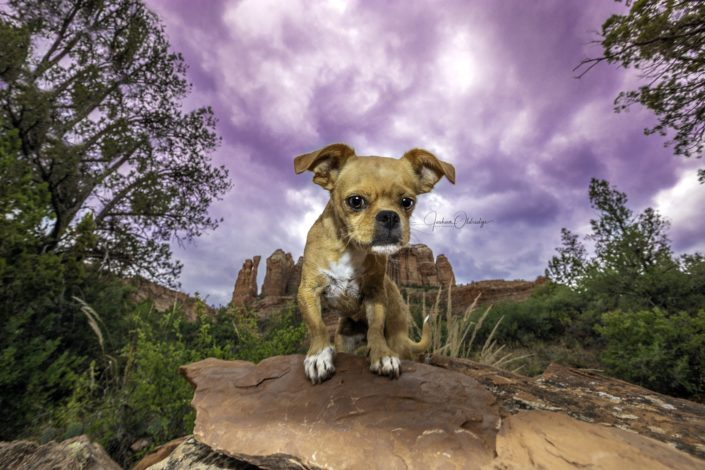 Joshua Oldridge photograph of Chihuahua in desert