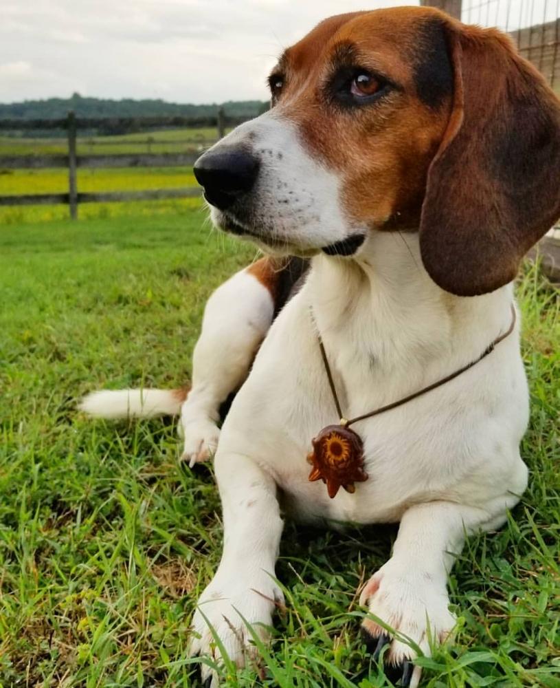 Fetty the Beagle/Basset Mix