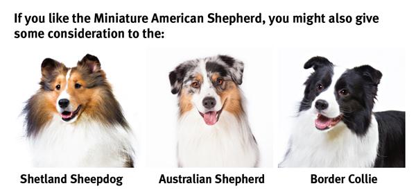 The Miniature American Shepherd Modern Dog Magazine