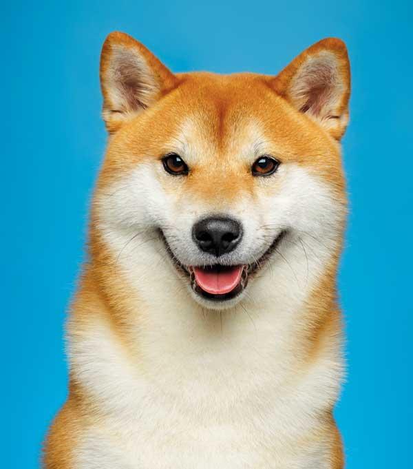 the shiba inu modern dog magazine