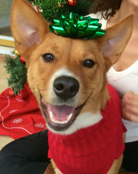 Cute smiling dog with Christmas bows