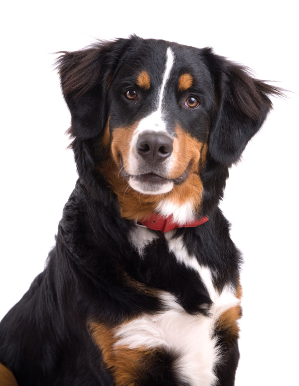 the bernese mountain dog modern dog magazine. Black Bedroom Furniture Sets. Home Design Ideas