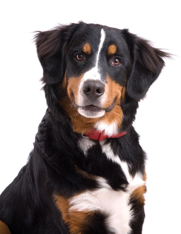 the bernese mountain dog modern dog magazine. Black Bedroom Furniture Sets. Home Design Ideas