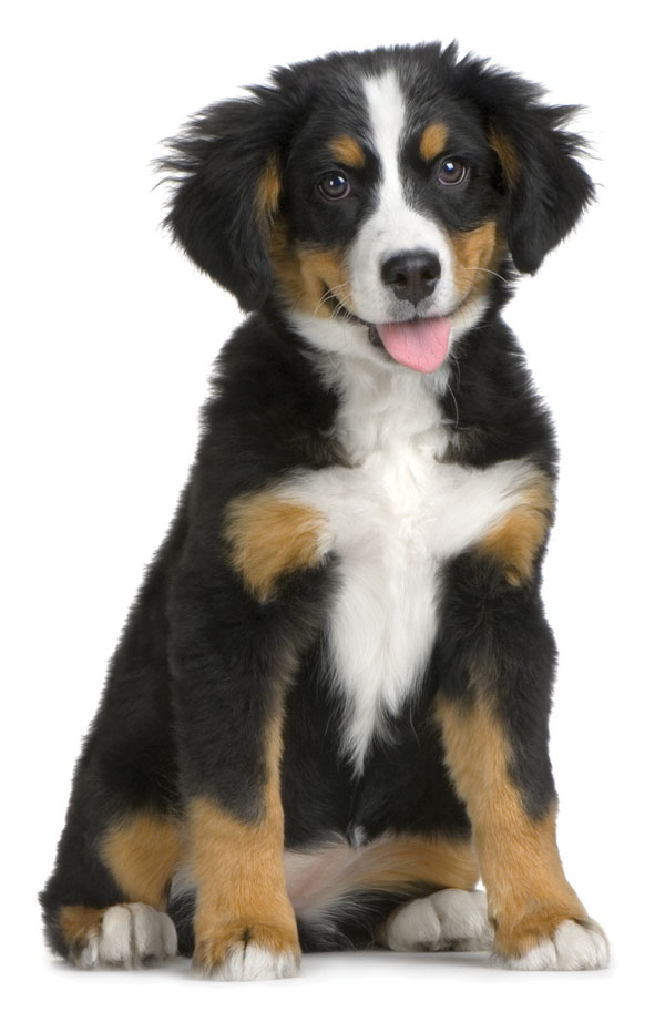 Bernese Mountain Dog Breed With A Poodle