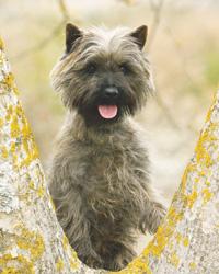 The Cairn Terrier Modern Dog Magazine