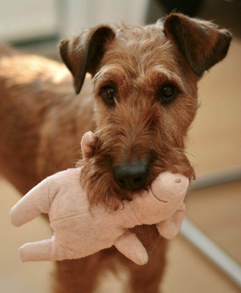 Brown dog with toy in mouth