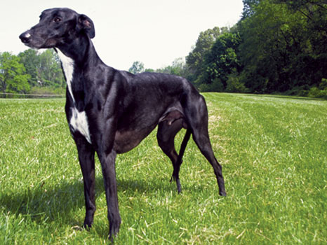 whats the difference between the greyhound and the