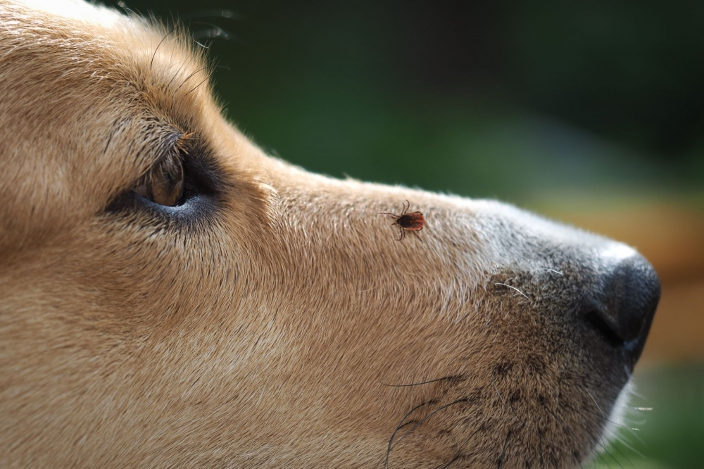 ticks and fleas dogs