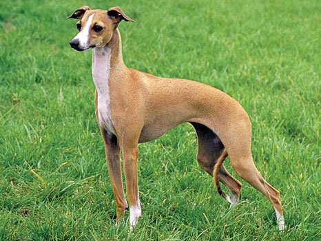 What's the Difference Between the Italian Greyhound and ...