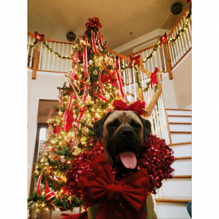 dog dressed up for the holidays in front of a Christmas tree
