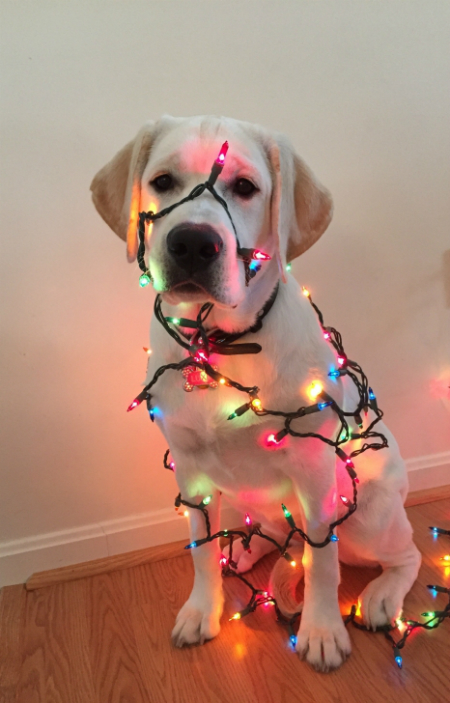 3 luxe attempting to untangle the christmas lights - Dog Christmas Lights