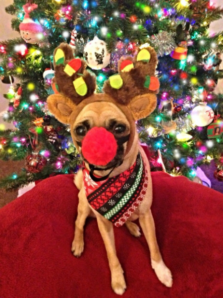 Rudolf the red-nosed reindeer outfit on a dog