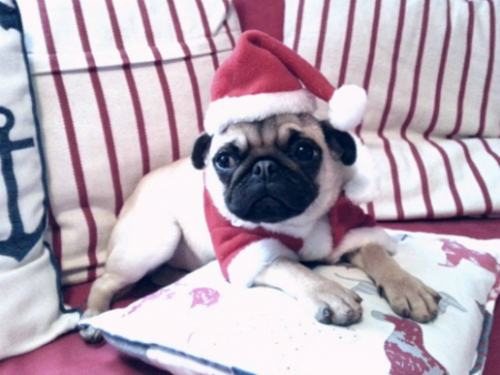 Adorable pug in a Santa hat and Christmas outfit