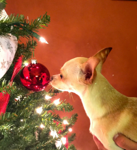 dog helping put up the Christmas ornaments