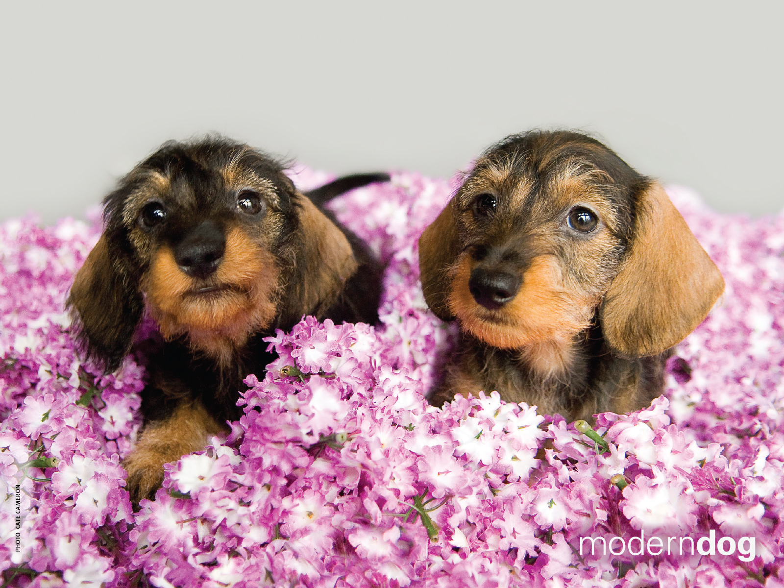 Puppies Free Modern Dog Wallpaper Modern Dog Magazine