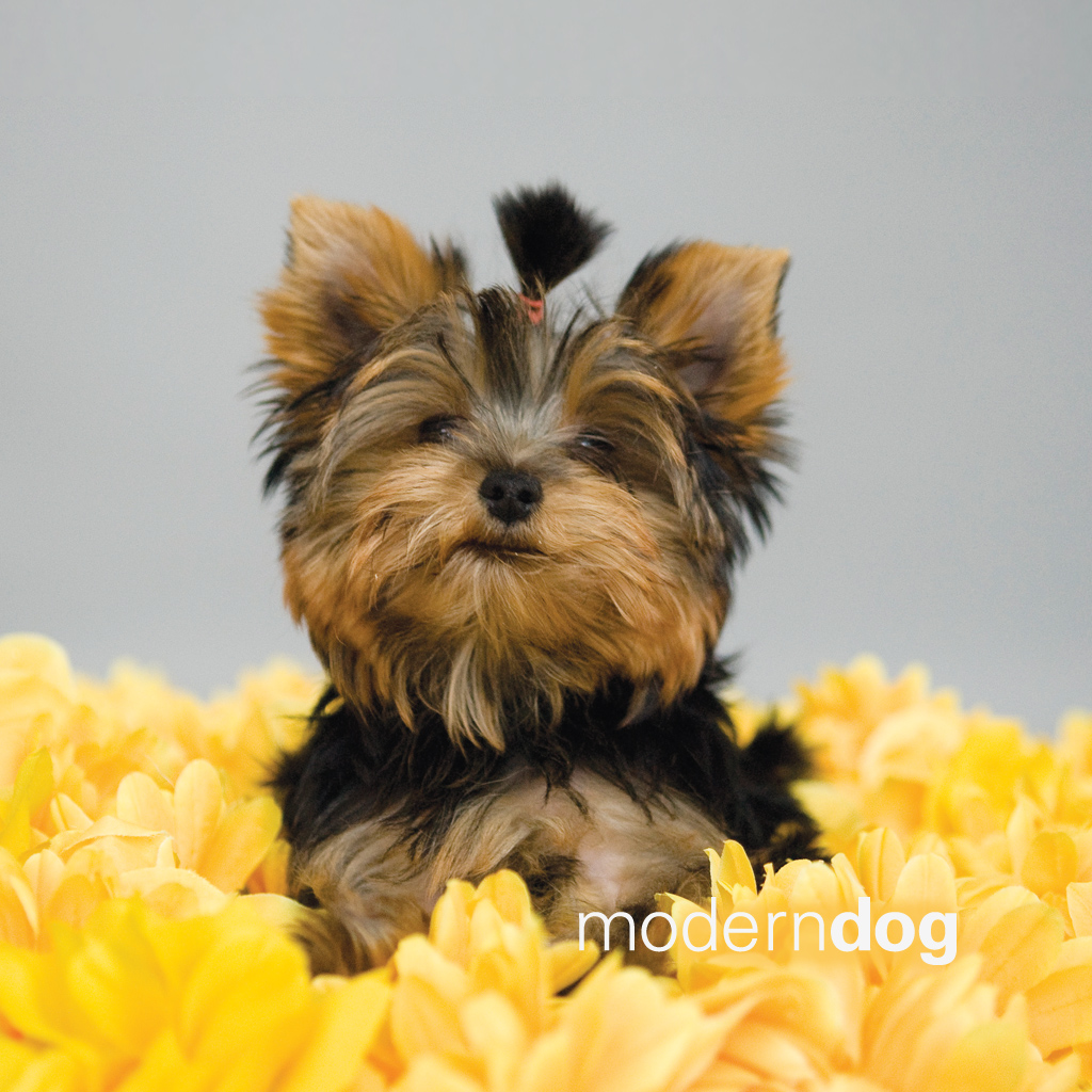 puppies! free modern dog wallpaper | modern dog magazine