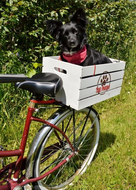 Training Your Dog To Run Beside Your Bike