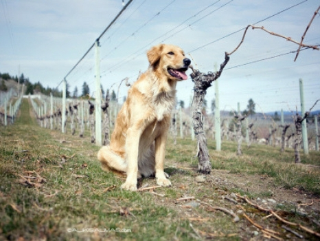 Vineyard Dogs