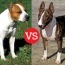 American Staffordshire Terrier and Bull Terrier