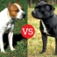 American Staffordshire Terrier and the Staffordshire Bull Terrier