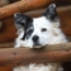 Border_Collie_Waits-sm.jpg