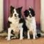 Darting Dogs