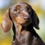 Is the Dachshund or the Greyhound the Right Breed for You?