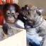 Bulldog Kisses Orangutan